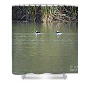Pair Of Bufflehead Ducks  Shower Curtain