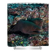 Pair Of Giant Moray Eels In Hole Shower Curtain
