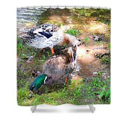 Pair Of Mallard Duck 4 Shower Curtain