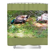 Pair Of Mallard Duck 8 Shower Curtain