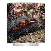 Panamic Deer Cowrie, Cypraea Cervinetta Shower Curtain