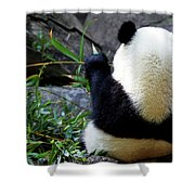 Panda Bear Eating Bamboo Shower Curtain