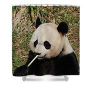 Panda Bear Eating Bamboo Shoots Up Close And Personal Shower Curtain