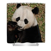 Panda Bear Eating Some Shoots Of Bamboo Shower Curtain