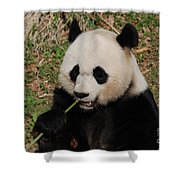 Panda Bear Holding On To Bamboo While Eating  Shower Curtain