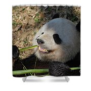 Panda Bear Showing His Teeth As He Munches On Bamboo Shower Curtain