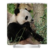 Panda Bear Smelling His Bamboo Before Eating It Shower Curtain