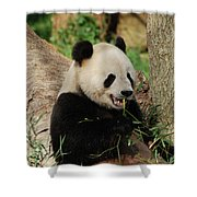 Panda Bear With Teeth Showing While He Was Eating Bamboo Shower Curtain