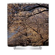 Panorama Of Forest Of Sakura Japanese Flowering Cherry Trees Wit Shower Curtain