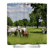 Panorama Of White Lipizzaner Mare Horses With Dark Foals Grazing Shower Curtain