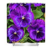 Pansies In Purple And Blue Shower Curtain