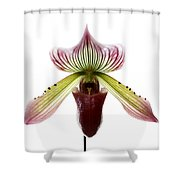 Paphiopedilum Lawrenceanum Shower Curtain