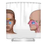 Paranasal Sinuses, Illustration Shower Curtain