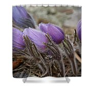 Pasque Flower Watercolor Shower Curtain