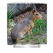 Patagonian Cavy IIi Shower Curtain