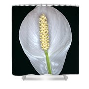Peace Lily In Flower. Shower Curtain