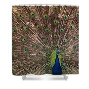 Peacock At The Fort Shower Curtain