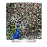 Indian Peacock II Shower Curtain