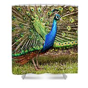 Peacock In Beacon Hill Park Shower Curtain