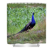 Peacock In Cornfield Shower Curtain