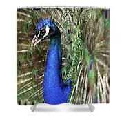 Peacock Mating Season Shower Curtain