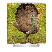 A Peahen's Plumage Shower Curtain