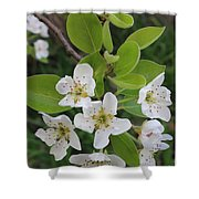 Pear Blossoms In Full Bloom Shower Curtain