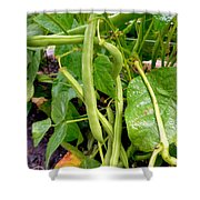 Peas Growing On The Farm 4 Shower Curtain