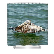 Pelecan In Flight Shower Curtain