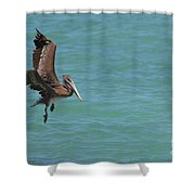 Pelican Contemplating A Water Landing In Aruba Shower Curtain