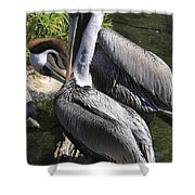 Pelican Duo Shower Curtain by Deborah Benoit