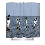 Pelican Parliament Shower Curtain