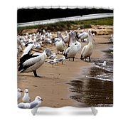 Pelicans At Pearl Beach 1.0 Shower Curtain