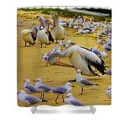 Pelicans At Pearl Beach 3.1 Shower Curtain