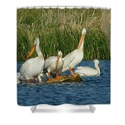 Pelicans Being Pelicans Shower Curtain
