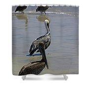 Pelicans Enjoying The Day At Playa Manzanillo Shower Curtain
