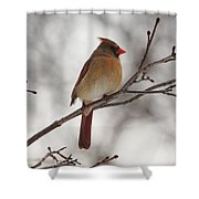 Perched Female Red Cardinal Shower Curtain