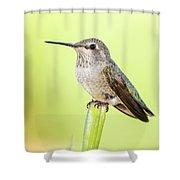 Perched Hummingbird Vi Shower Curtain