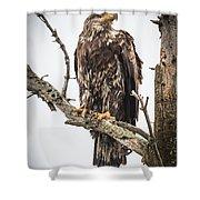 Perched Juvenile Eagle Shower Curtain