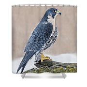Perching Peregrine Falcon Shower Curtain