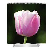 Perfect Pastel Pink Flowering Tulip Blossom In Spring Shower Curtain