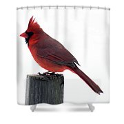 Perfect Pose - Northern Cardinal Shower Curtain