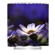 Pericallis On A Cool Spring Evening 4 Shower Curtain