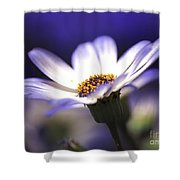 Pericallis On A Cool Spring Evening Shower Curtain