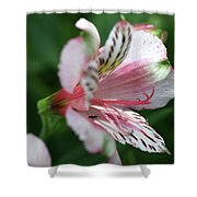 Perivian Lily With Ant Shower Curtain