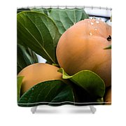 Persimmons Ready For Harvest Shower Curtain