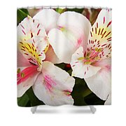 Peruvian Lilies  Flowers White And Pink Color Print Shower Curtain