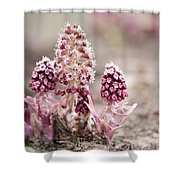 Petasites Hybridus Pink Flowers Shower Curtain