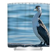 Pied Cormorant On Old Wharf Shower Curtain