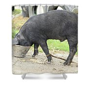 Pig Eating From A Bucket Shower Curtain